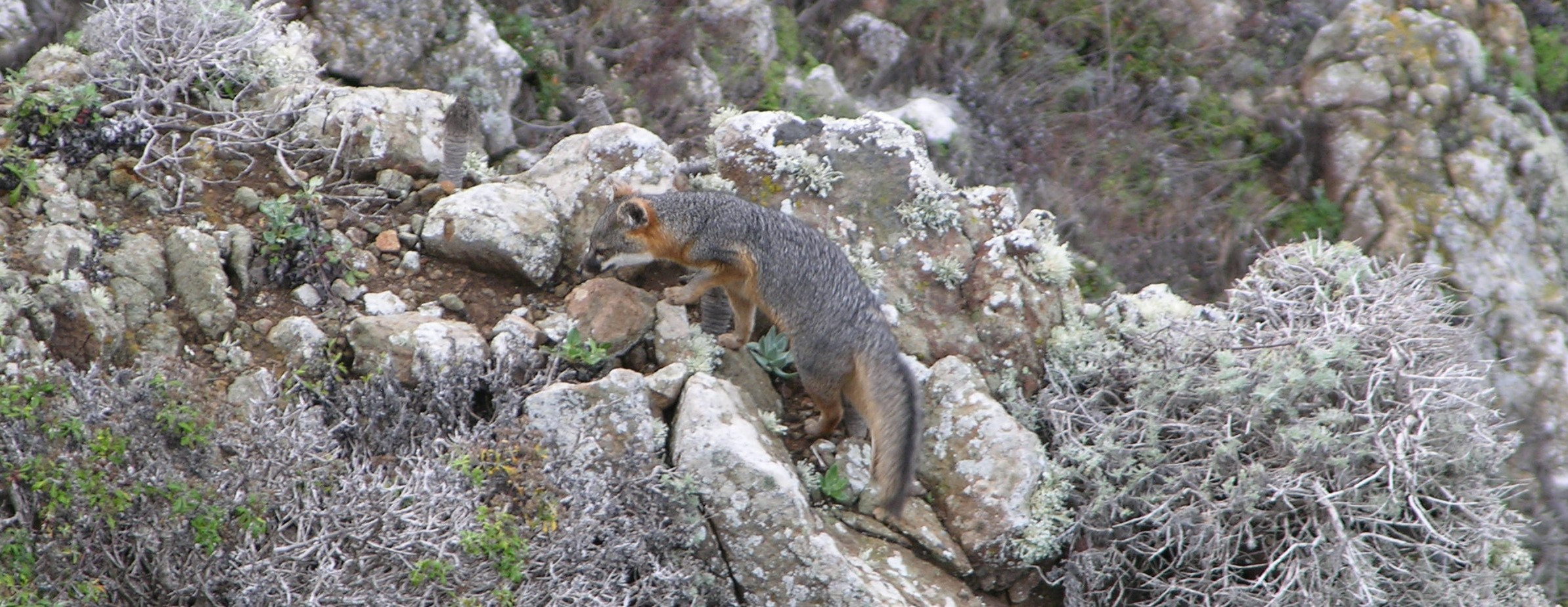 Santa Cruz Dec 5-7 2014 Island Fox